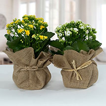 Jute Wrapped Dual Potted Plants: Anniversary Gifts for Her